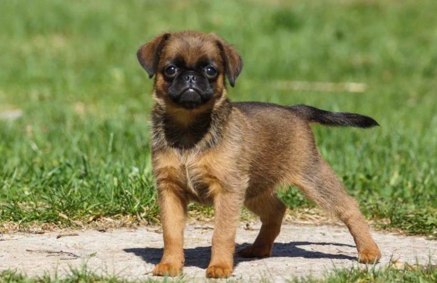 щенок Пти-брабансон