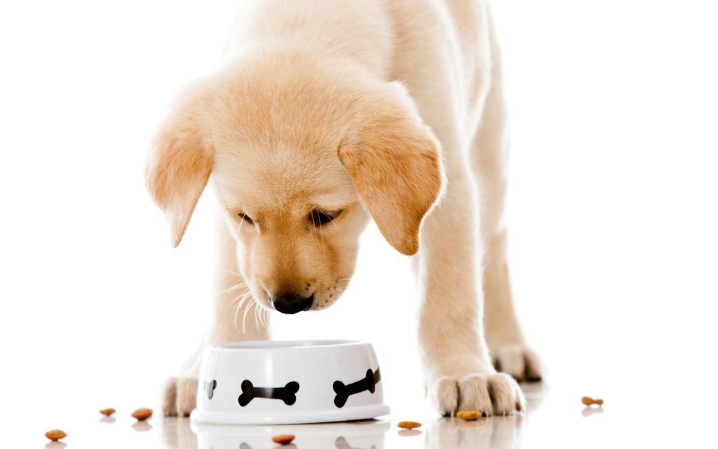 Маленький щенок учится есть из миски