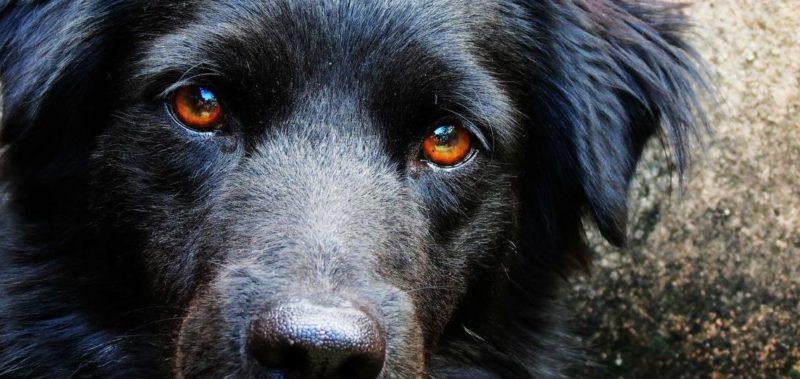 Здоровые глаза собаки