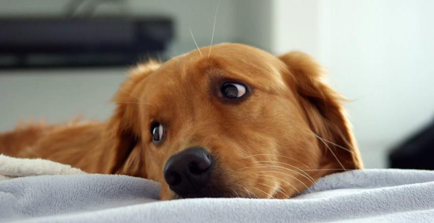 лишай у собаки