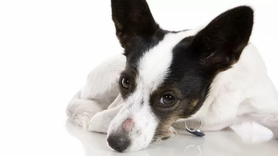 у собаки стригущий лишай