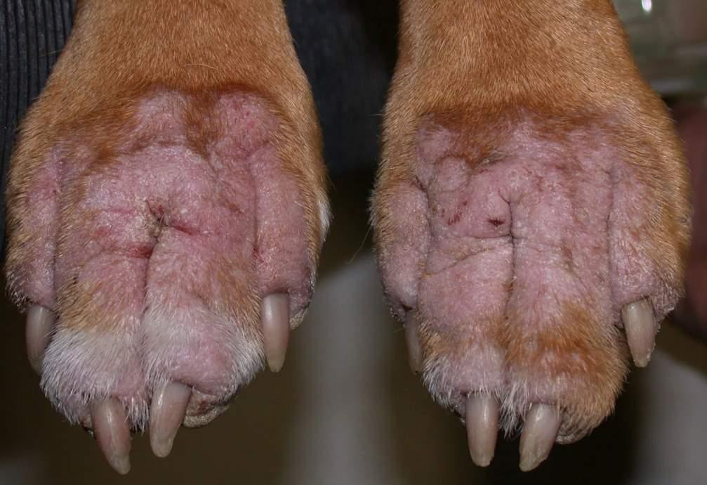 стафилококк у собаки на лапах