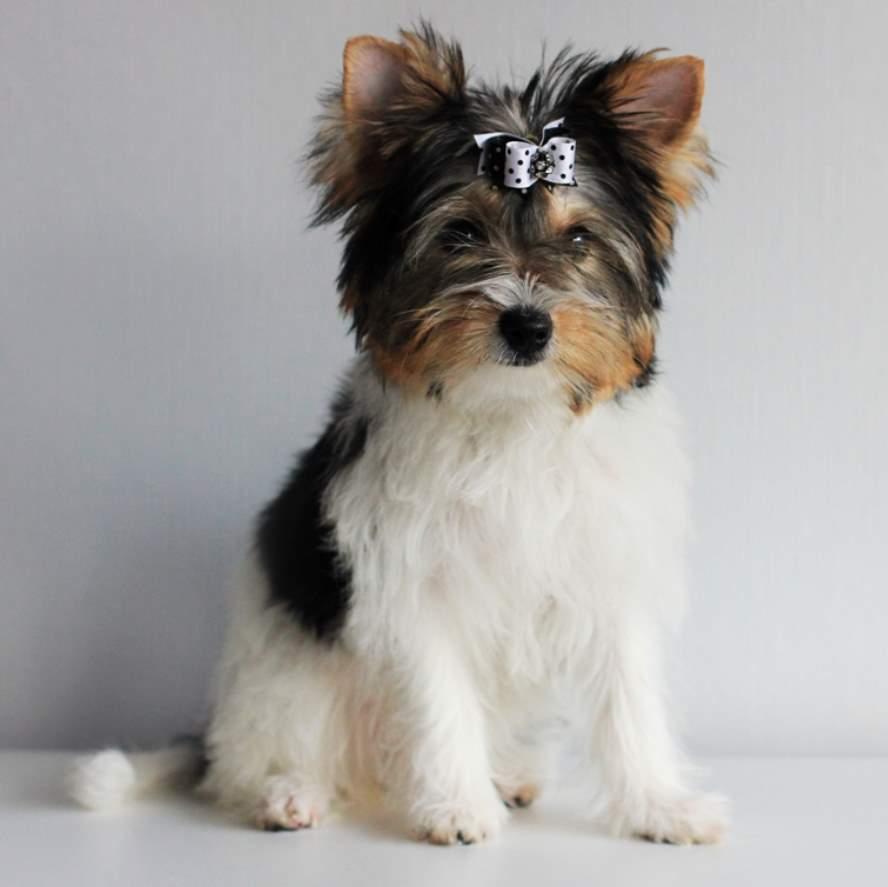 Бивер-йоркширский терьер – фото, описание породы, цена щенка