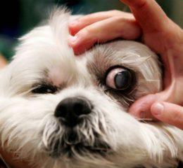 Заболевания глаз у собак, их лечение, профилактика, виды болезней