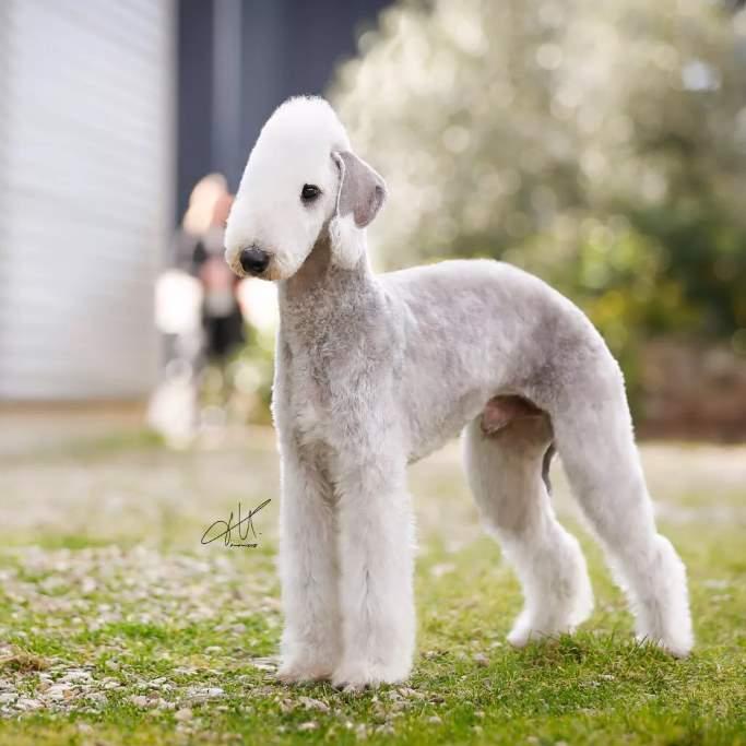 Собака с необычной внешностью - Бедлингтон-терьер