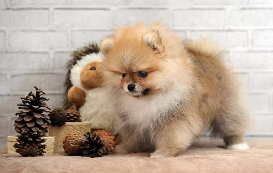 щенок карликового шпица на фото