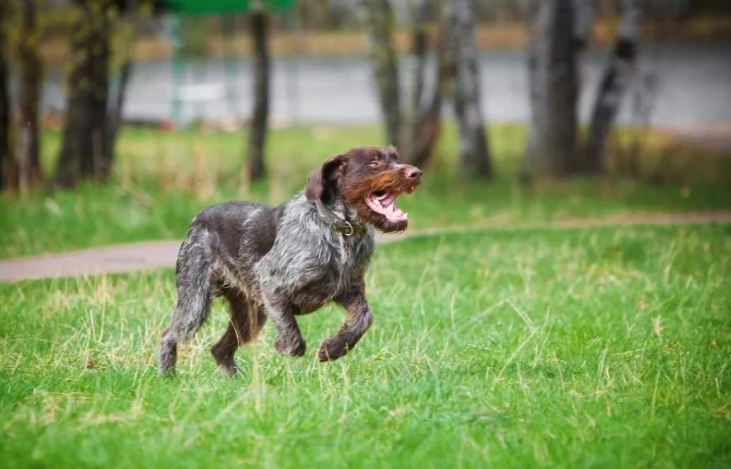 Дратхаар - фотография собаки