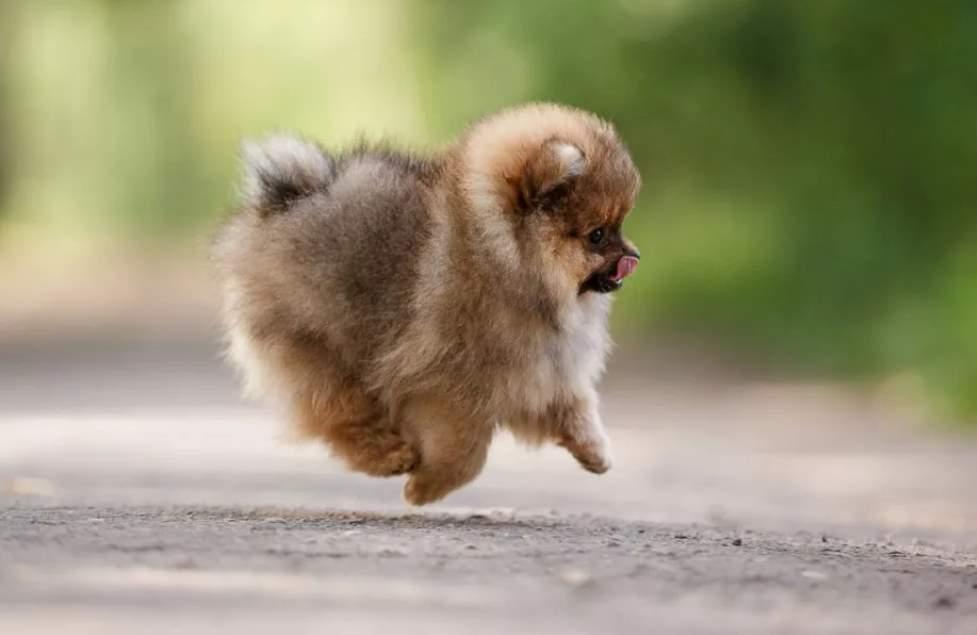 щенок мини шпица