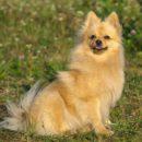 Веселая и ласковая собаки с лисьей мордочкой - Немецкий шпиц