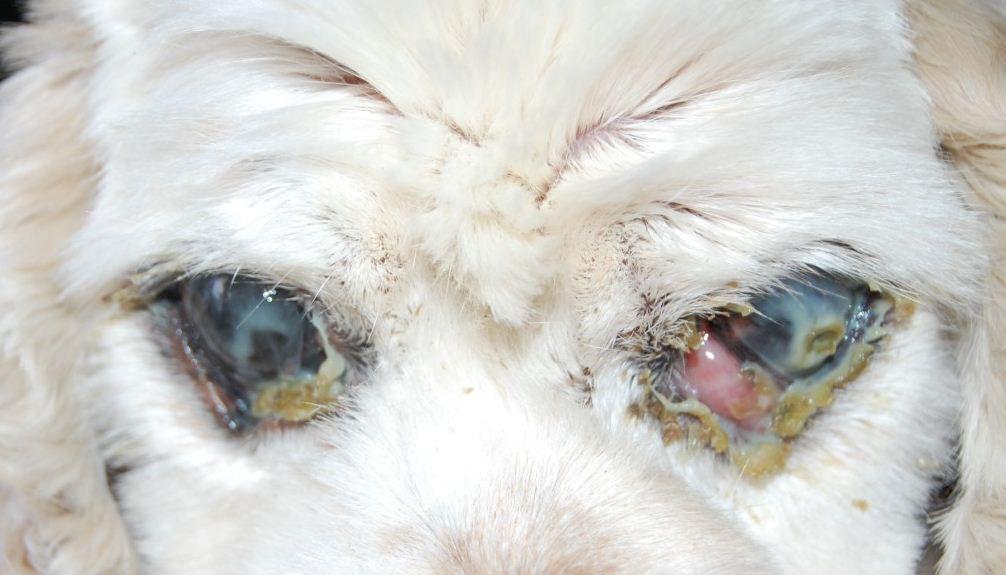 Гнойный конъюнктивит у собаки