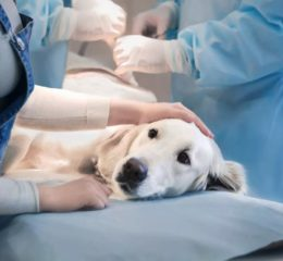 Стерилизация собаки - особенности, виды и нюансы процедуры