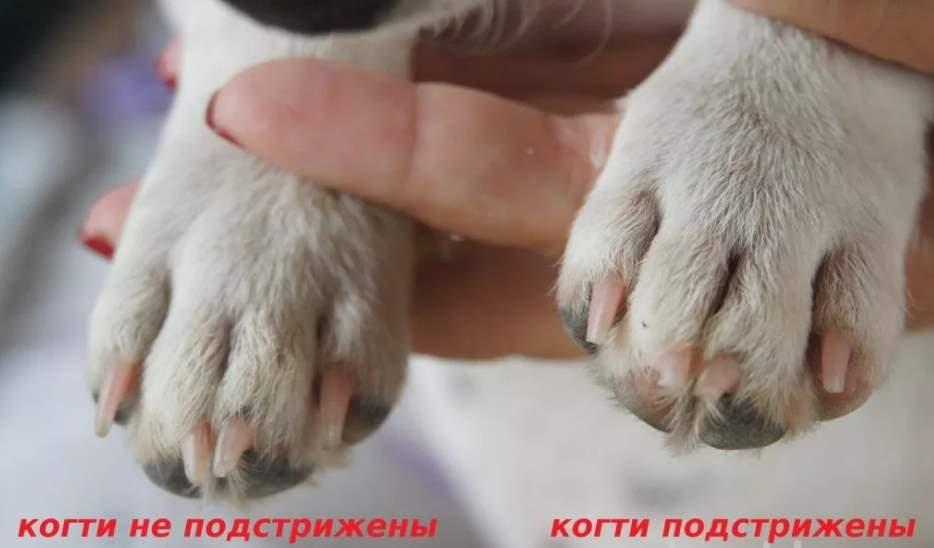постриженные когти у собаки