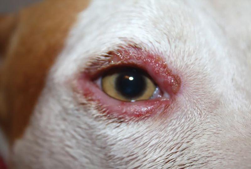 Блефарит у собаки