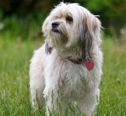 Собака с бесстрашным сердцем - Лхаса апсо
