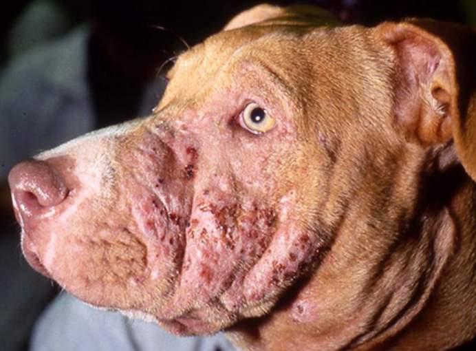 стафилококк золотистый у собак
