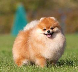 Маленькая, амбициозная собачка - карликовый шпиц или карликовый померанский шпиц