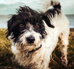 Стафилококковая инфекция у собак: симптомы, лечение и профилактика