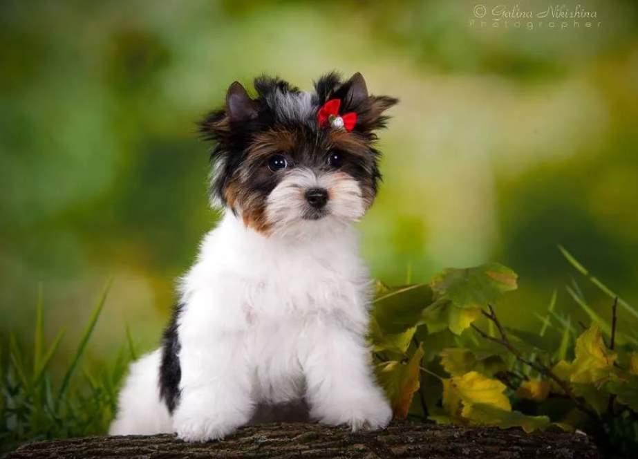 бивер щенок