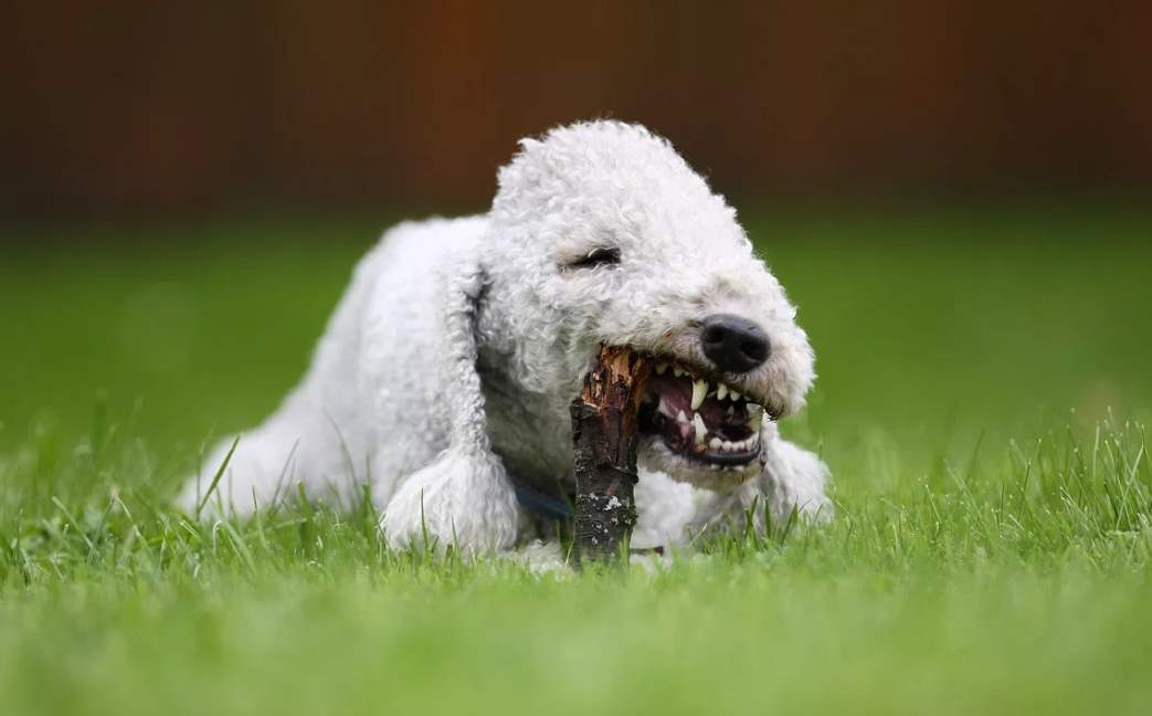 Бедлингтон-терьер щенок