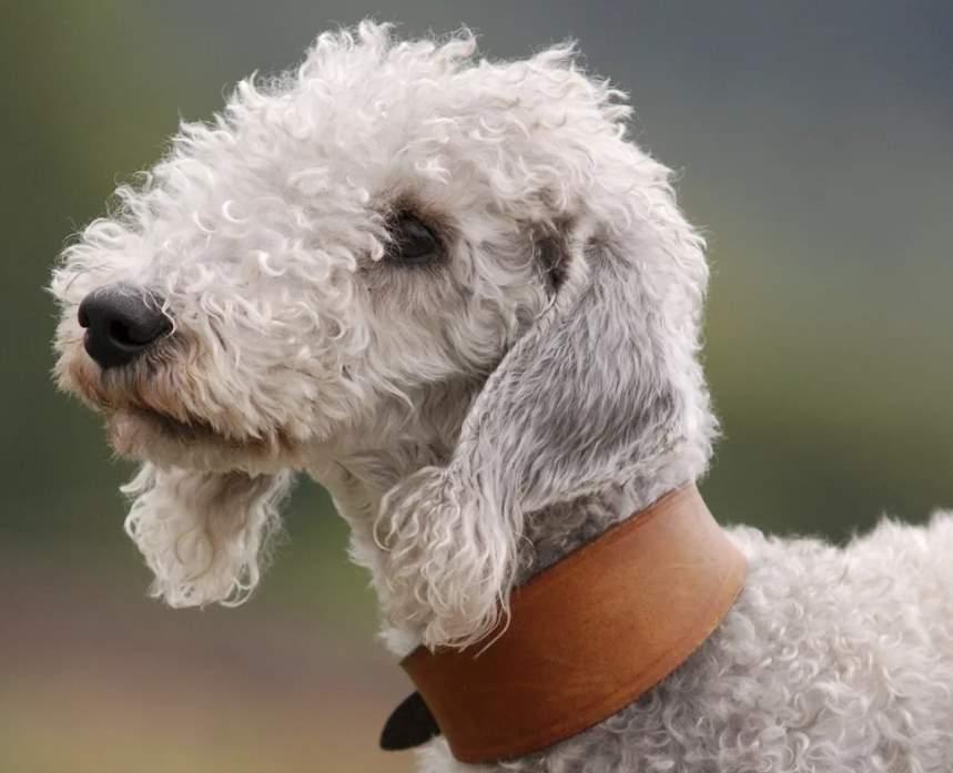 фото собаки Бедлингтон-терьер