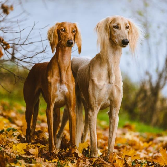 Изящная, красивая и грациозная Персидская борзая (Газелья собака) - Салюки