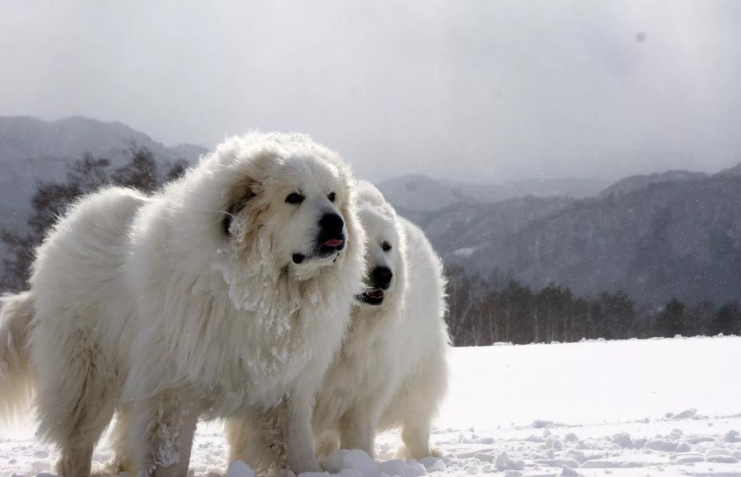 на фотографии Пиренейская горная собака