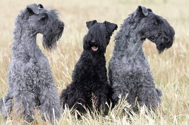 фото собаки Керри-блю-терьер