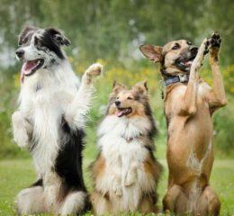 Обучаем собаку командам «фас», «сидеть», «рядом»: эффективные методы