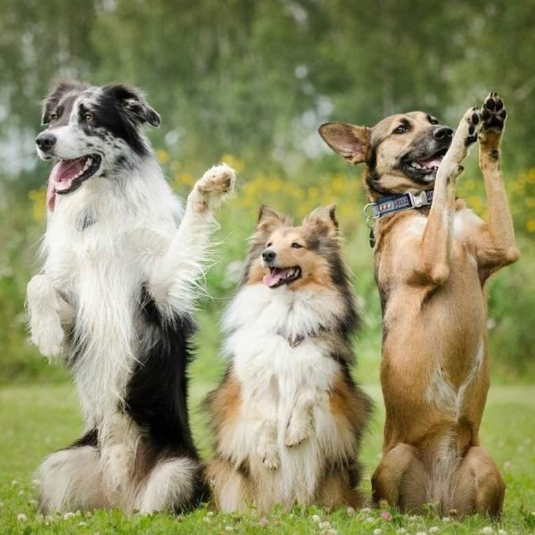 Как научить собаку командам лежать, сидеть, фас, умри, дай лапу и рядом