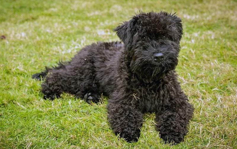 Керри-блю фото собаки