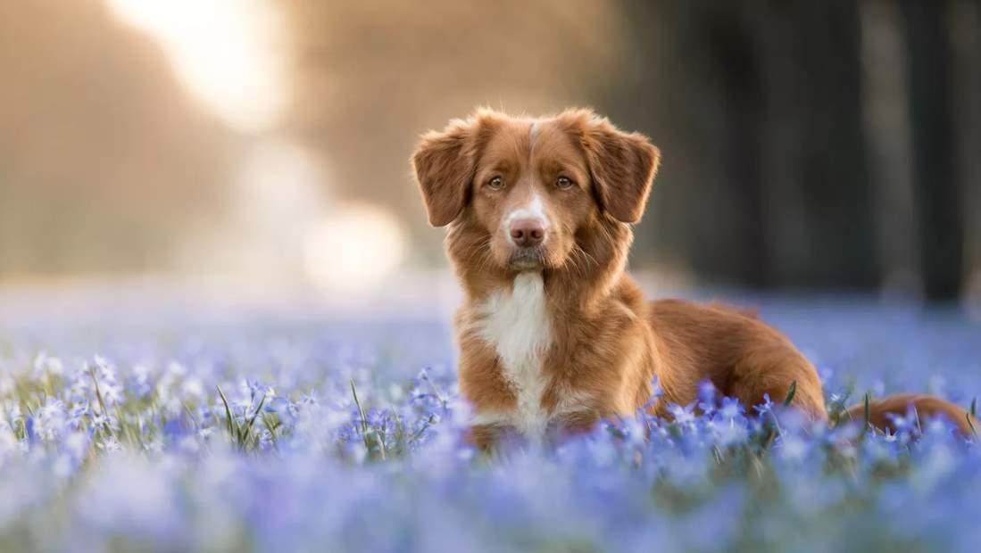 Толлер - фото собаки