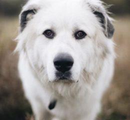 Одна из лучших охранных пород - Большой пиреней или Пиренейская горная собака