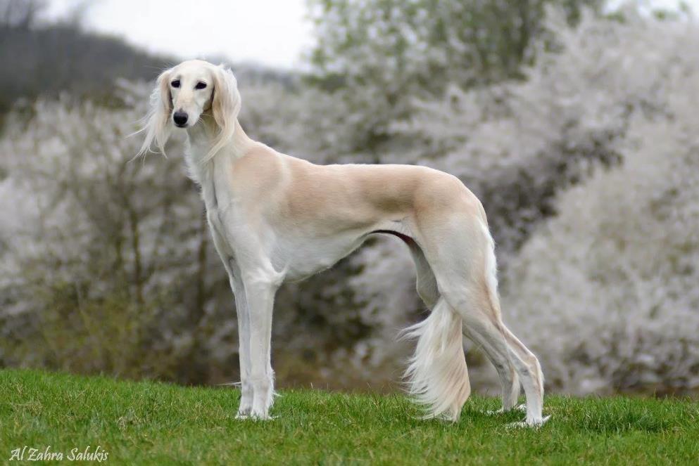 На фото собака салюки