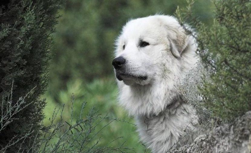 порода пиренейская собака