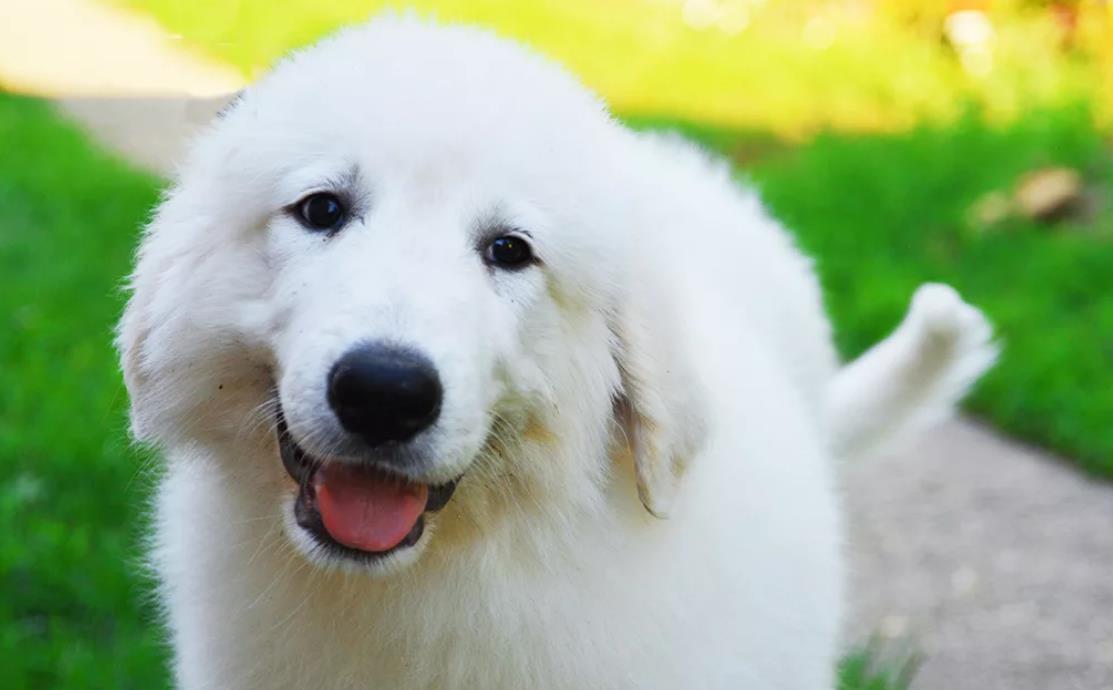 щенок пиренейца на фото