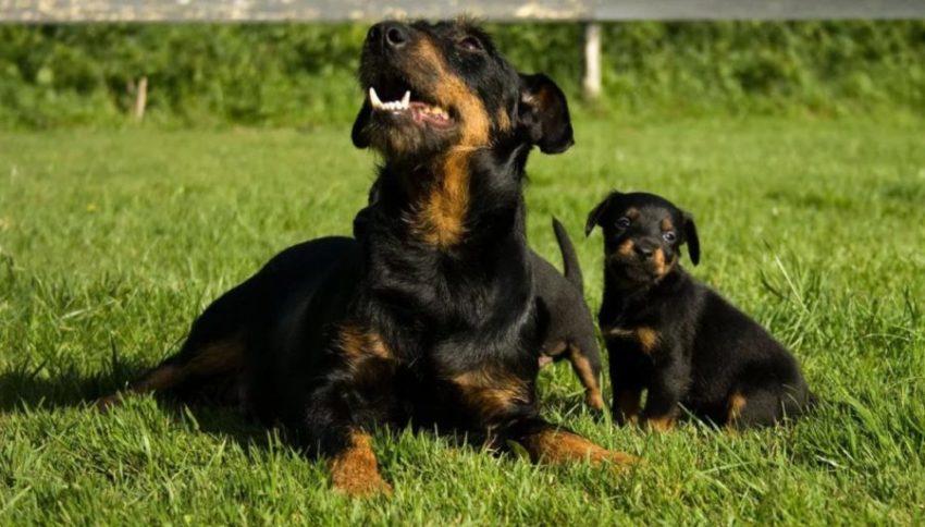 Ягдтерьер с щенком