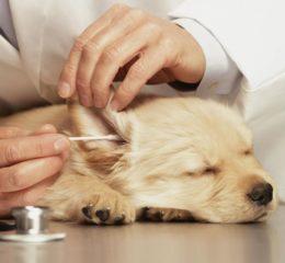 Все, что нужно знать про чистку ушей у собак