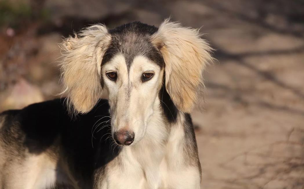 щенок салюки на фото