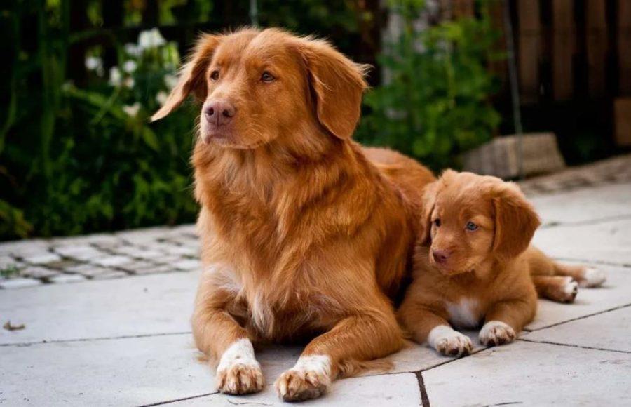 Толлер собака с щенком