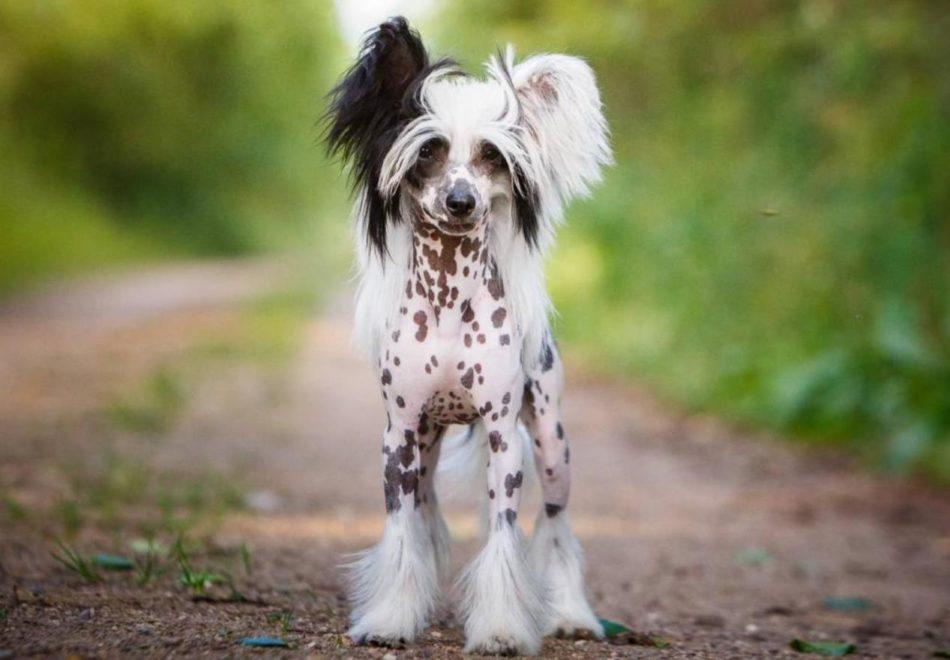 Китайская хохлатая собака на фото