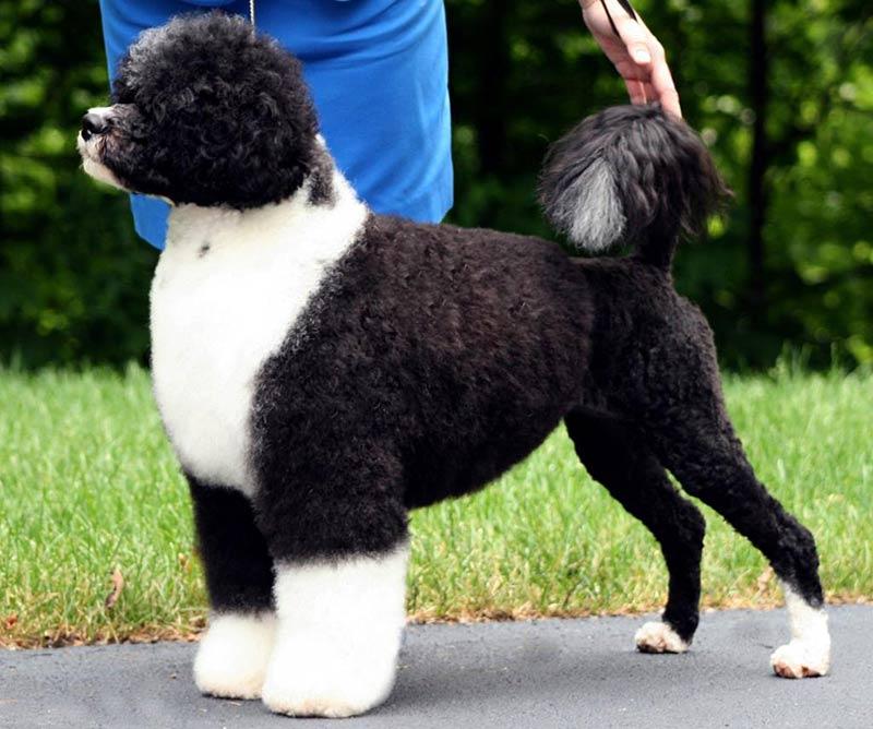 Португальская-водяная-собака