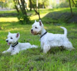 Одна из самых многочисленных и популярных групп собак - Терьеры