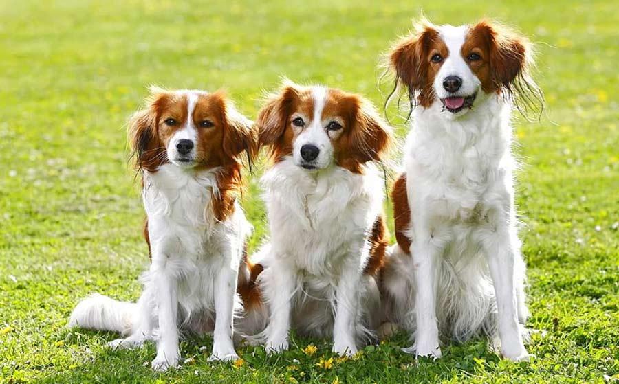 собаки породы Коикерхондье на фото