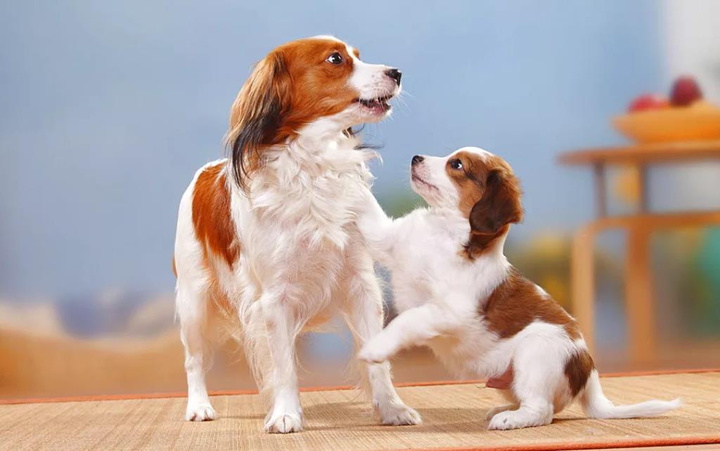 мама и щенок Голландский спаниель