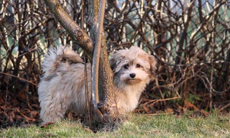 фото щенка хаванез