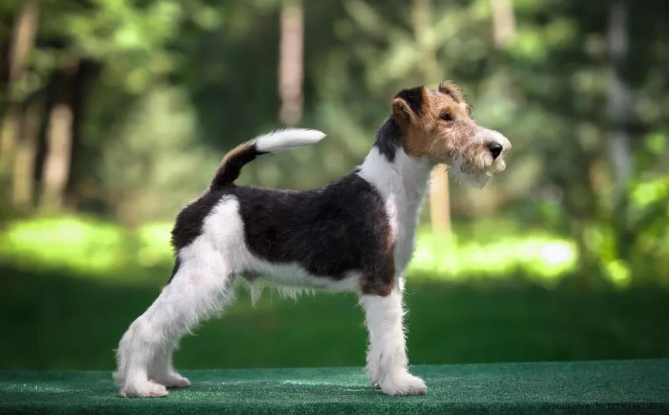 фото собаки Жесткошерстный фокстерьер