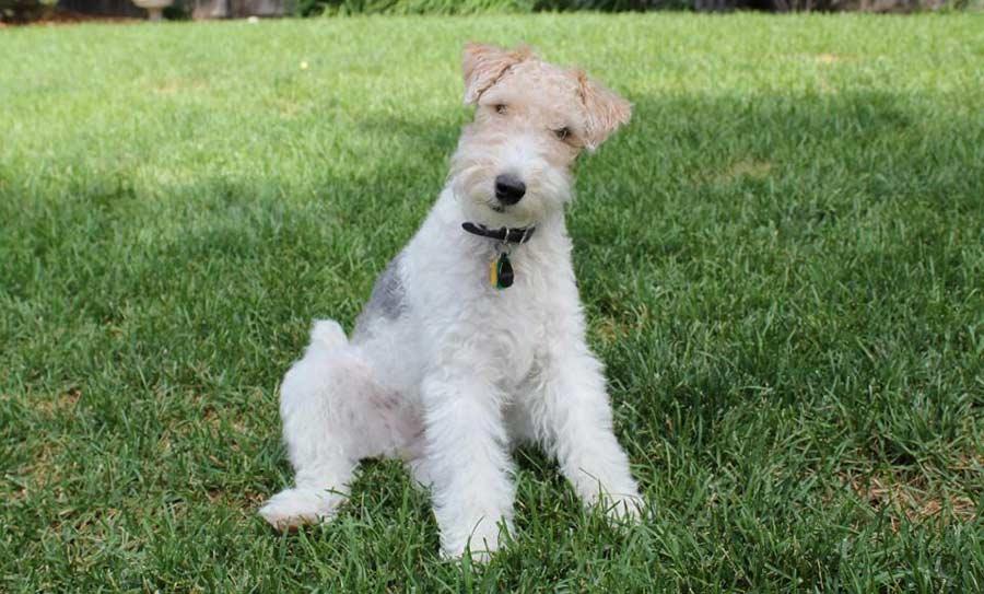 на фото щенок Жесткошерстный фокстерьер