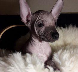 Все породы собак без шерсти (лысые) с названиями и фото