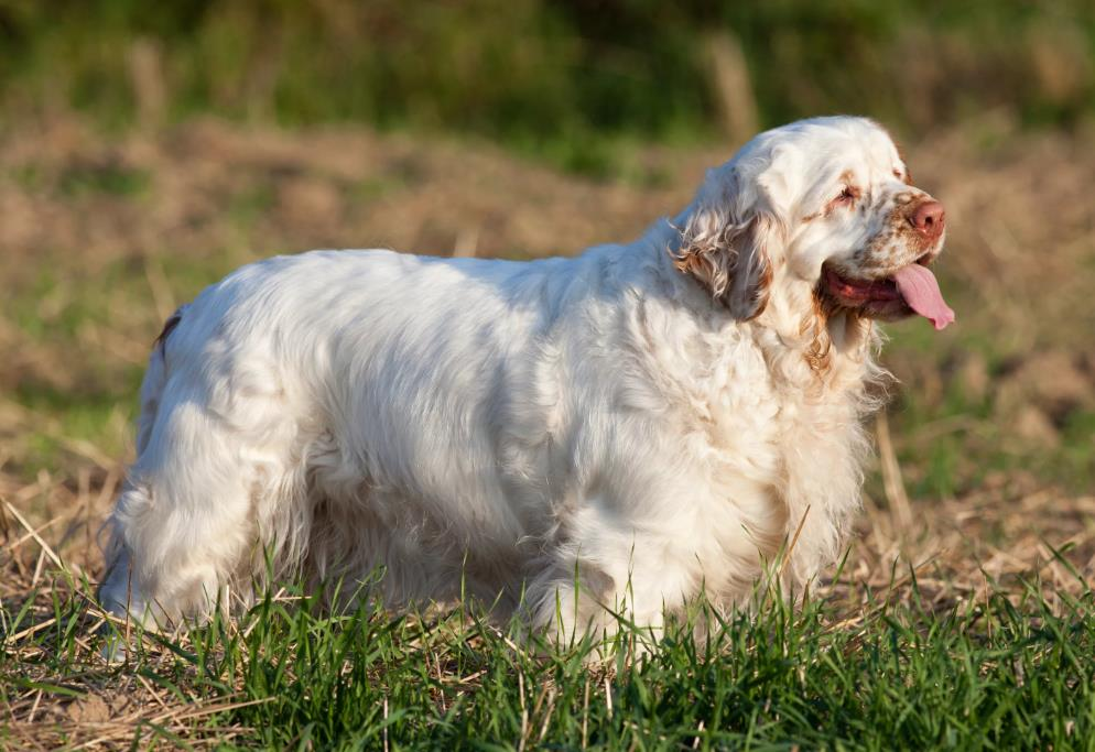 фото собаки кламбер
