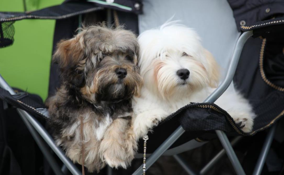 фото собаки хаванез